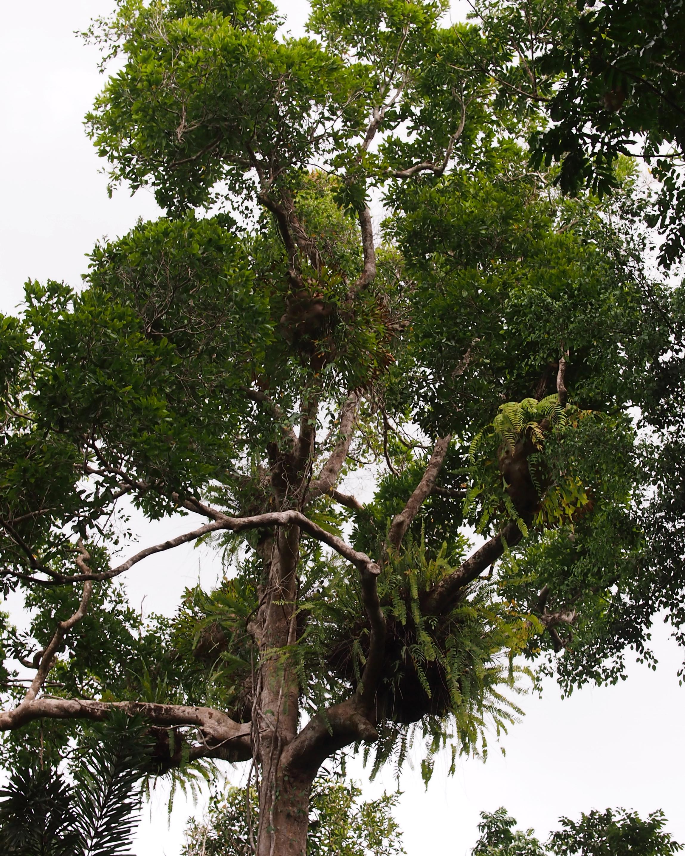 pin durian tree in bali on pinterest