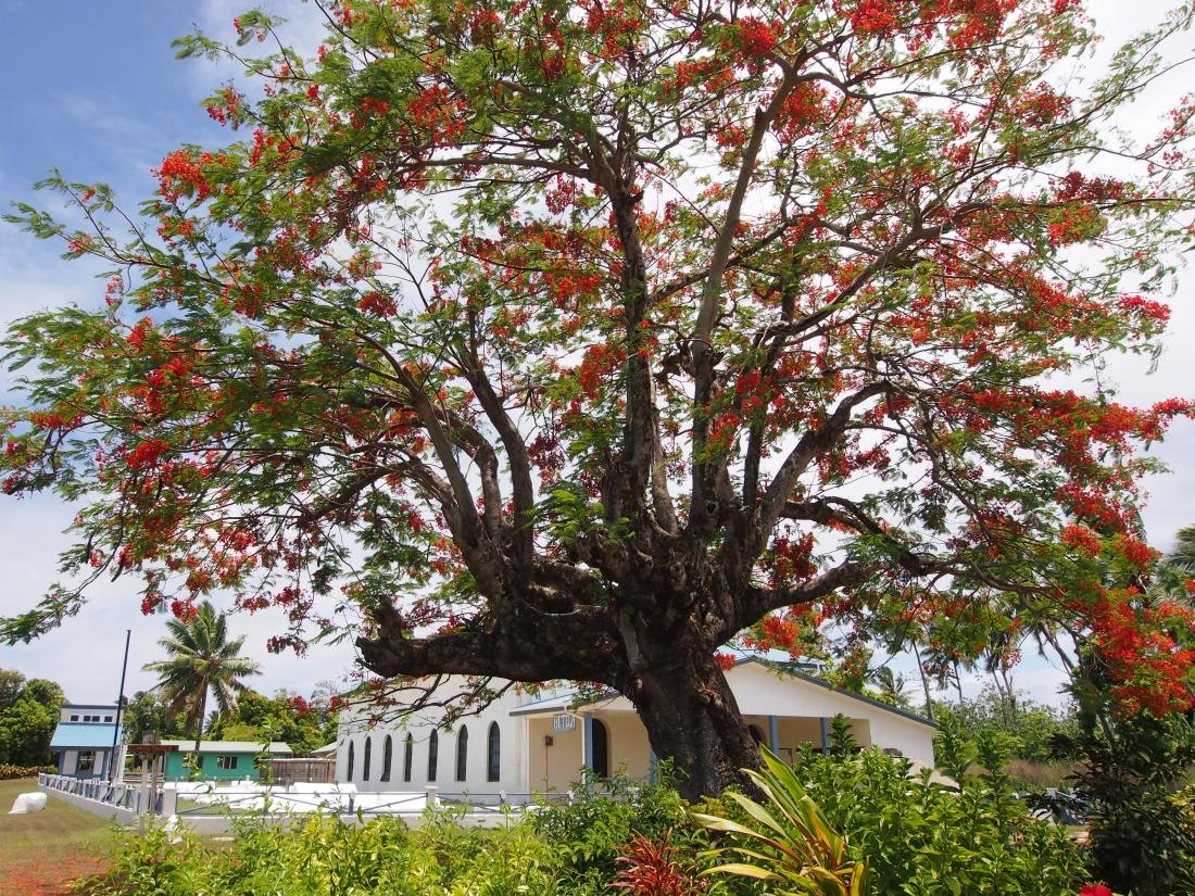 Aitutaki flame tree