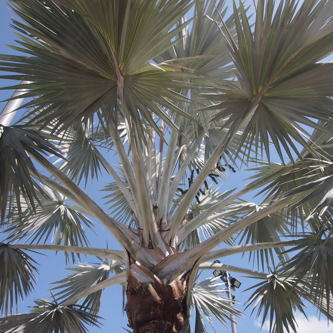 Spiky Palm