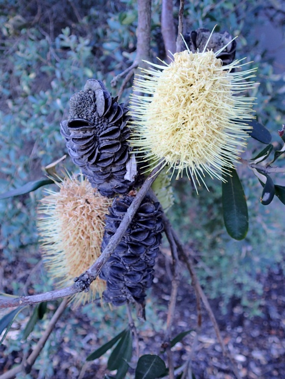 Banksia flowers and pods