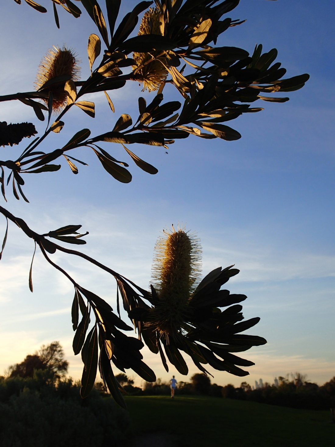 Banksia silhouette